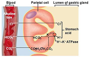 Border cells of stomach & hydrocholoric acid